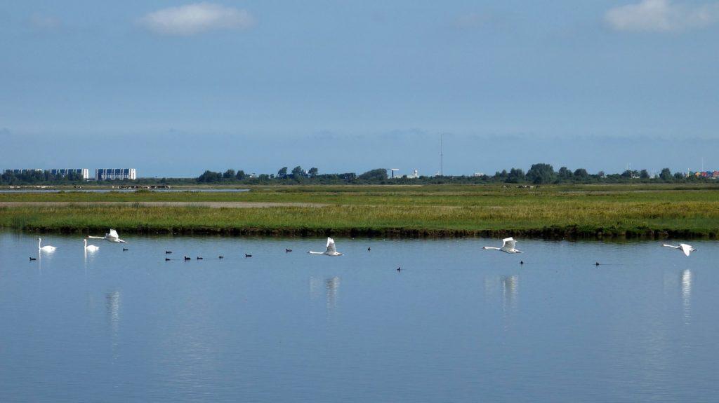 swans-2725110_1920